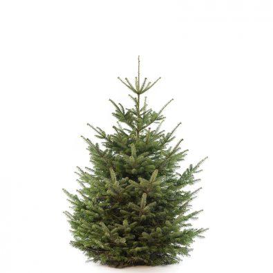 Nordmann premium kerstboom van 175 / 200 cm - Duoplant