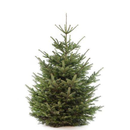 Nordmann premium kerstboom van 225 / 250 cm - Duoplant