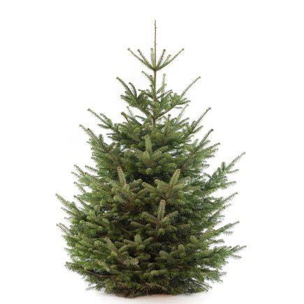 Nordmann premium kerstboom van 250 / 275 cm - duoplant