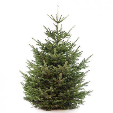 Nordmann premium kerstboom van 275 / 300 cm - duoplant