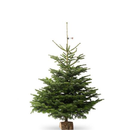 Nordmann kerstboom van 200 /225 cm - Duoplant