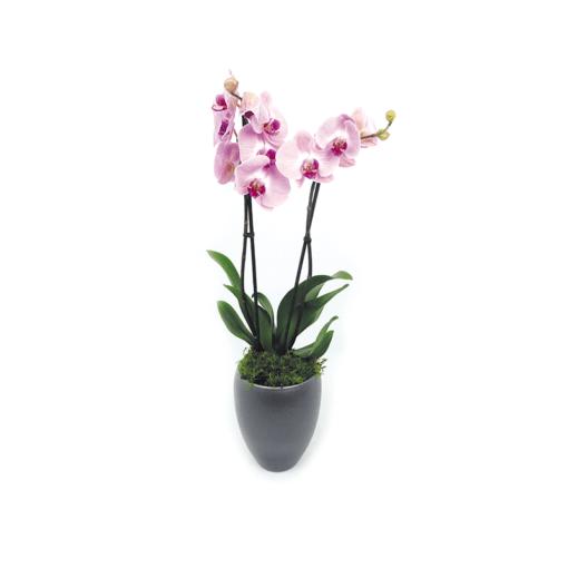 2 tak roze orchidee - Duoplant