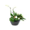 Duoplant - Ovaal Phalaenopsis in zwarte pot